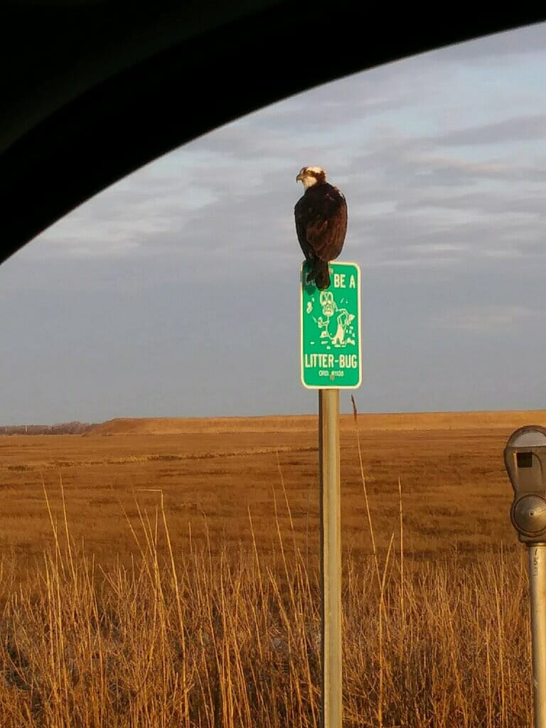 "Osprey sitting on a ""Don't Litter"" sign"